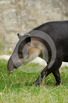 Central American Tapir Stock Images - Image: 26877114