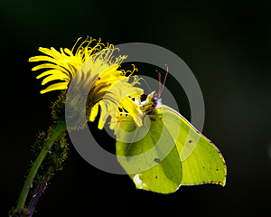 Butterfly Against The Light (Gonepteryx Rhamni) Stock Images - Image: 26916504