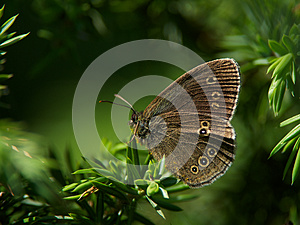 Butterfly Grayling (Aphantopus Hyperantus) Royalty Free Stock Photo - Image: 26916715