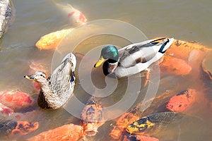 Ducks Peixes Do Koi Na Lagoa Foto de Stock - Imagem: 26935020