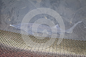 Sturgeon In The Water Royalty Free Stock Photo - Image: 26946775