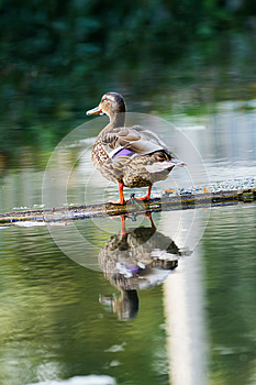 Wild Duck Stock Photography - Image: 26963642