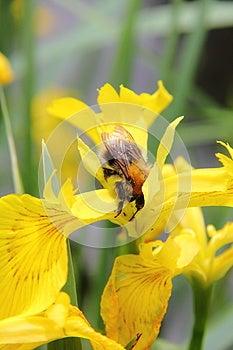 Bumblebee. Flower. Stock Photo - Image: 26965440
