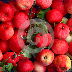 Ripe Apples Royalty Free Stock Photography - Image: 26966017