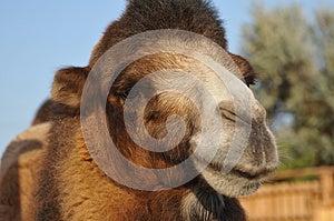 Camel Portrait Royalty Free Stock Image - Image: 26968636