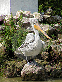 The Pelican. Stock Photo