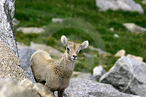 Baby Bighorn At Mt. Evans Stock Photos