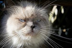 Blue Point Himalayan Cat Stock Photo