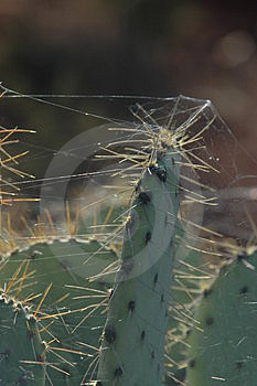 Web Covered Catus Spines Free Stock Photo
