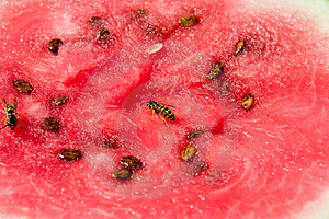 Wasp On Melon Free Stock Photo