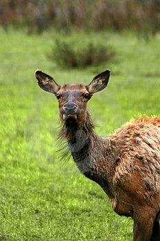 Cow Elk Loking At Me Free Stock Image