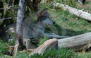 放松在树荫下的北美灰狼 免版税库存图片 - 图片: 272189