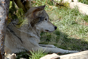 Wolf Resting Under Tree Stock Photo