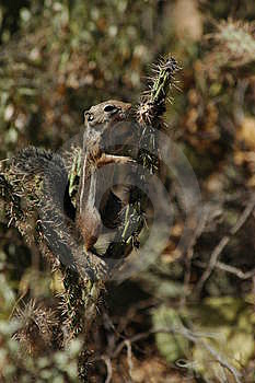 Squirrel Climbing Cactus Free Stock Image