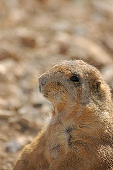 Black-footed Prarie Dog Free Stock Photos