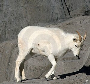 Sad Dall's Sheep Stock Photos