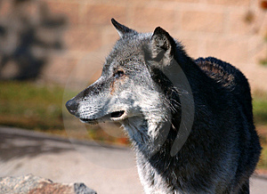Timber Wolf Looking Left Stock Photography