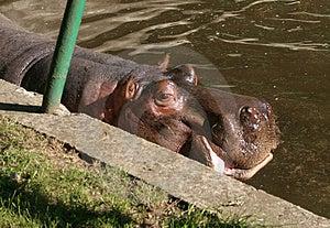 Hippo In Zoo Stock Photo