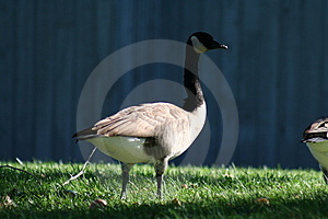 Shade Goose Stock Photography - Image: 279712