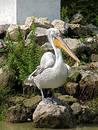 The pelican. Stock Photo