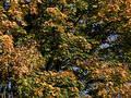 Maple leaves Free Stock Photos