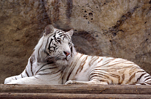 Tiger Royalty Free Stock Images - Image: 2700749