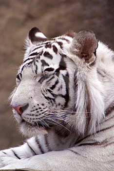 Tiger Stock Photos - Image: 2701233