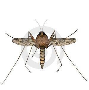 Mosquito Royalty Free Stock Photo - Image: 2704405
