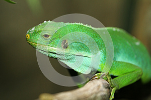 Iguane Photos stock - Image: 27059883