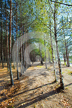 Birch And Pine Trees Stock Photography - Image: 27073902