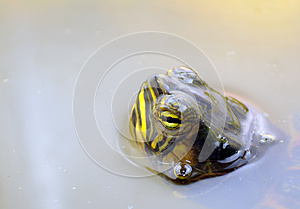 Water Turtle Royalty Free Stock Images - Image: 27110059