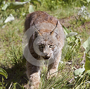 Lynx Canadien Images stock - Image: 27113114