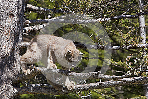 Kanada Ryś Zdjęcie Royalty Free - Obraz: 27113125