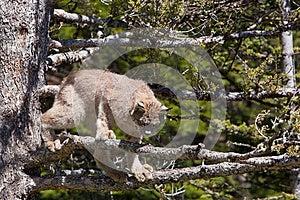 Lince Di Canada Fotografia Stock Libera da Diritti - Immagine: 27113125