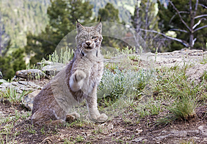Canadian Lynx In Mountains Royalty Free Stock Image - Image: 27113146