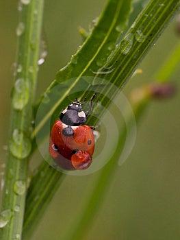 Wet Ladybug Royalty Free Stock Images - Image: 2722639
