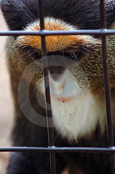 Sad Monkey Portrait Royalty Free Stock Photography - Image: 2722647