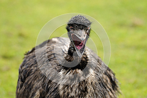 An Emu's Scream Royalty Free Stock Photography - Image: 27255797