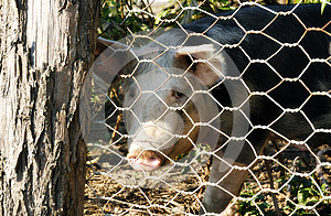 Pig Royalty Free Stock Photography - Image: 27267487