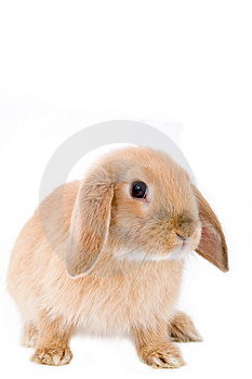 Brown-white bunny, isolated Stock Images