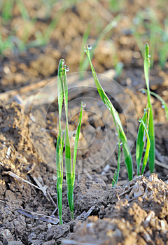 Seedlings Cereal Royalty Free Stock Photography - Image: 27329747