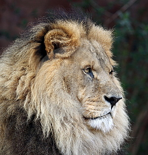 Imperious Male Lion Stock Photos