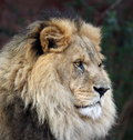 Imperious Male Lion