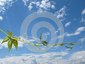 The Twig Of Virginia Creeper On The Sky Background Stock Images - Image: 27440924