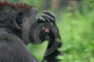 Gorilla Stock Photos - Image: 2756543