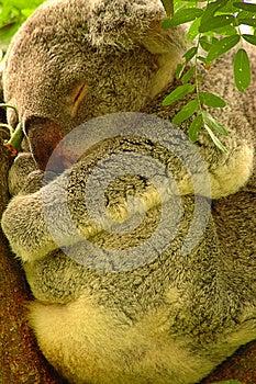 Koala Images libres de droits - Image: 27646029