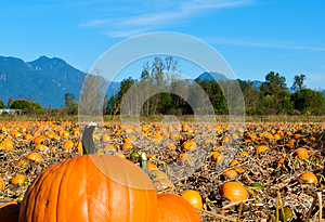 Pumpkin Patch Stock Photography - Image: 27646632