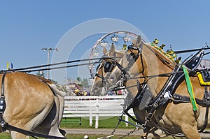 Belgian Draft Horses At Country Fair Royalty Free Stock Images - Image: 27711169