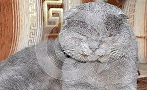Scottish Fold Grey Cat Stock Image - Image: 27746921