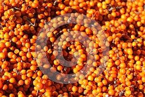 Ââbuckthorn моря Стоковые Фотографии RF - изображение: 27754968